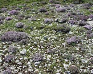 Thymus_vulgaris5
